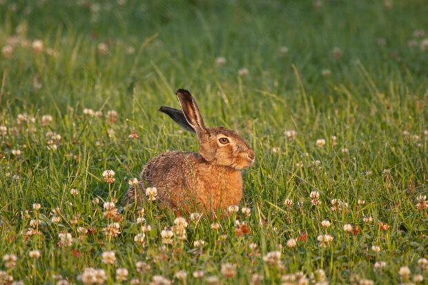 Hare och vitklöver
